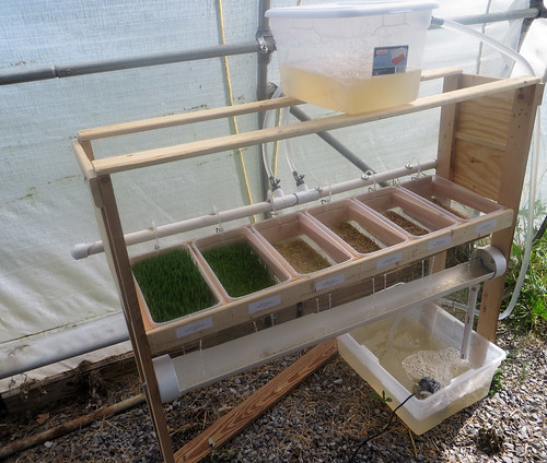 Hydroponic fodder in greenhouse