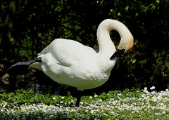 Whistling Swan at Arundel (likrwy) Tags: bird swan arundel wwt whistlingswan