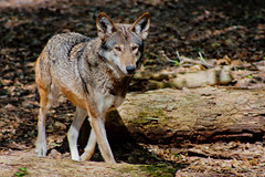 Red Wolf (Jacob Waites) Tags: blue red lake flower green nature animal animals wolf grove wildlife south canine swamp flowering marsh wolves budding wetland maclay maclaygardens