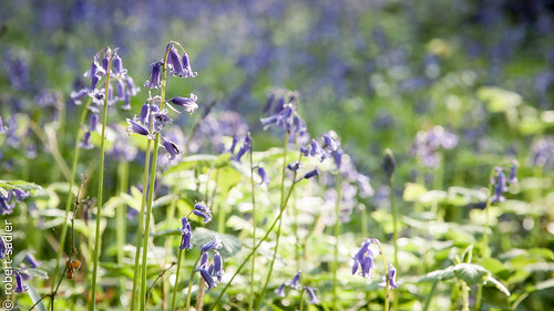 Blue Bells in Stokepark-4.jpg
