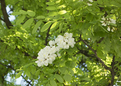 False acacia (Black Locust) (The^Bob) Tags: wood white flower tree germany munich hard fragrant robinia