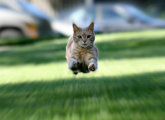 It's a bird ... it's a plane ...  it's Super Jimmy!! (Kerri Lee Smith) Tags: pet cats animals beige chat action tabby jimmy cream kitty superman gato kitties buff tabbies felines editing actionshot focalzoom picmonkey