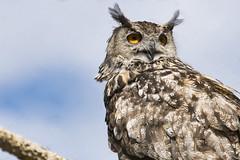 Eurasian Eagle-Owl 07 (cypher40k Photography) Tags: color colour nikon eurasianeagleowl bird toronto torontozoo zoo