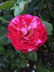 International Rose Test Garden (hey_deeps) Tags: oregon portland burns 2016 washingtonpark roses flowers pink red