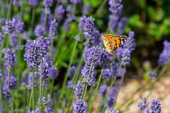 IMG_4902 (ElsSchepers) Tags: limburglavendel lavendelhoeve stokrooie kuringen hasselt natuur vlinders