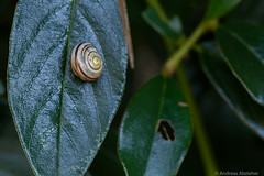 AA-20160817-1444 (andreas.abzieher) Tags: canon canon6d macro snails leafs nature gitzo