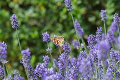 IMG_4918 (ElsSchepers) Tags: limburglavendel lavendelhoeve stokrooie kuringen hasselt natuur vlinders