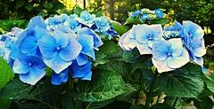 Hortensias azules bis (nora4santamaria) Tags: hortensias galicia azul colorazul 7dwf bleues