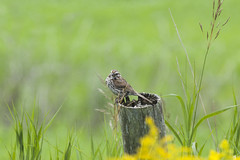 Summertime art (Natimages) Tags: summer summerbirds summer2016 sparrow birdonstump bokeh colors green yellow plants flowers nature grass pentax pentaxk3 da3004