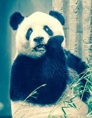 Gossiping Panda (danielkimaniz) Tags: research base giant panda breeding chengdu sichuan china