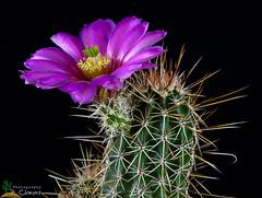 Echinocereus engelmanii v.variegatus (clement_peiffer) Tags: echinocereus engelmanii v variegatus d7100 105mm nikon cactus fleurs flower flowerscolors