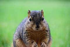 Bad day?... need a hug?! (Sowjanya V) Tags: squirrel squirrels usa backyard critter animal outdoor cute cuddly fur swwet face expression quote funny lol nikon 18300 hug bad day furry texture closeup close smile laugh saturday laughs