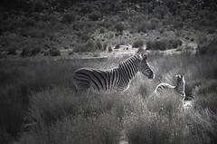 Zebras (martaD7000) Tags: zebras safari
