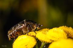 Cetonia aurata - Gemeiner Rosenkäfer auf Tanacetum (Dieter Gora) Tags: goldglänzenderrosenkäfer gemeinerrosenkäfer cetoniaaurata kaltenkirchenerheide käfer tanacetum rainfarn