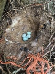 IMG_1848 (JMarshall78) Tags: nest nests ornithology birds wildlife devon