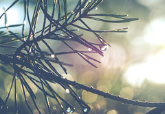sunbeam in the pines (adamthecholo) Tags: outdoor abstract pine tree needles nikon d5300 water droplet raindrop rain summer tamron 90mm bokeh