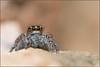 oOOo (Péef) Tags: araignée saltique salticus péef peef macro yeux oooo nikon spider jumping patrickfargier