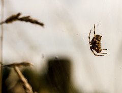 Spider hanging in the air (PDKImages) Tags: spider spiders webs macro beauty silhouettes legs creepy danger feeding striped pounce nature