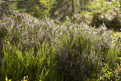 Green and purple (Marthinefoto) Tags: green purple nature flower flowers summer canon5dmarkii 100mm norway forest light skog skogen lyng seinsommer grnt lilla heather