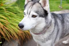 Sparkle-X100T-3991 (Nada Mal) Tags: siberian huskie x100t fujifilm dogs