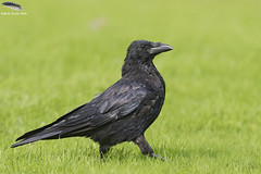 Carrion Crow.. (Mick Erwin) Tags: carrion crow