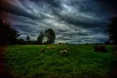 Yer gonna make me lonesome when you go. (keith_fannon) Tags: sheep field clouds moody