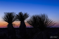 Yuccas At Dusk (Alfred J. Lockwood Photography) Tags: alfredjlockwood nature landscape dusk twilight guadalupemountainsnationalpark nationalpark yucca clearsky spring texas silhouette