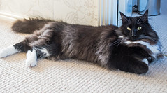 All Relaxed ( Percy the cat) (Olympus OMD EM5II & mZuiko 25mm f1.8 Prime Lens) (1 of 1) (markdbaynham) Tags: cat feline big pet cute whiskers black eyes olympus oly omd em5 em5ii csc mirrorless evil mft microfourthirds m43 m43rd micro43 mz zd zuikolic zuiko percy mzuiko 25mm f18 prime