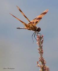 Halloween Pennant (sbuckinghamnj) Tags: halloweenpennant dragonfly paulinskill newjersey