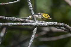 They're Back (Rick 2025) Tags: birds warblers blackthroatedgreenwarbler kingston lemoinespoint bugs breakfast