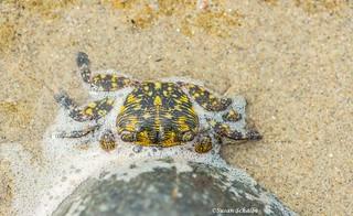 Yellow and black crab
