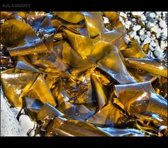 EXPLORED: Sky on Kelp (KSGarriott) Tags: ksgarriott scottgarriott olympus omd em5ii nature canada bc kelp seaweed leaves beach shore shoreline coastal marine green reflect 1240mm