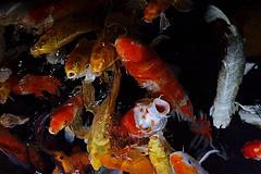Bocas (dotcomdotbr) Tags: peixe sony a77 sal1650 aqurio sao paulo sopaulo carpa bocas vermelho amarelo