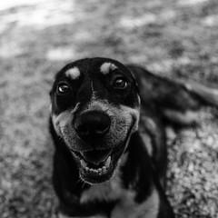 Billy_Jean27Aug1600040-Edit.jpg (fredstrobel) Tags: dogs pawsatanta phototype atlanta blackandwhite usa animals ga pets places pawsdogs decatur georgia unitedstates us