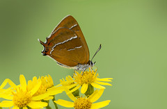 Brown Hairstreak Thecla betulae (icemelter4) Tags: brown hairstreak thecla betulae sussex