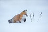 Red fox (Phiddy1) Tags: redfox snow ontario canada cold whiteout brrrrrrr 29c ngc npc