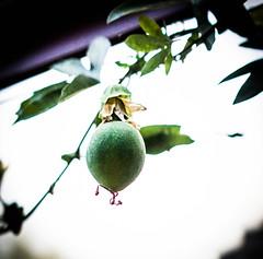 Passion fruit (judy dean) Tags: judydean 2016 sonya6000 garden passiflora passionflower fruit