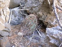 baja-0398 (Robby's Sukkulentenseite) Tags: bajasur cacti cactus ferocactus fnrrb1047 ka1147s kakteen kaktus mexiko peninsulae rb1047 reise standort townsendianus