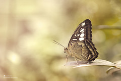 Butterfly |  (Abdullah Al-Marshoud) Tags: butterfly    yellow macro   insect