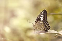 Butterfly | فراشة (Abdullah Al-Marshoud) Tags: butterfly فراشة أصفر ماكرو yellow macro حشرات حشرة insect