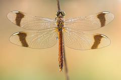 Sympetrum pedemontanum ♀ (Prajzner) Tags: sigma105mmmacro sympetrum sympetrumpedemontanum darter bandeddarter nikond7100 macro manfrotto nature dragonfly odonata dofstacking