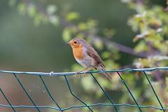 Rouge-gorge familier. Erithacus rubecula (MrlneG) Tags: oiseaux rougegorge familier extrieur rouge passereaux