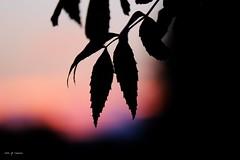 silhouettes d'un soir (jpto_55) Tags: soir feuille bokeh xe1 fuji fujifilm fujixf55200mmf3548rlmois hautegaronne france flickrunitedaward crpuscule