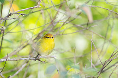Yellow-throated Woodland-Warbler (Phylloscopus ruficapilla) (Brendon White) Tags: yellowthroatedwoodlandwarbler phylloscopusruficapilla george gardenroute westerncape southafrica yellow bird nikon d7100 flash