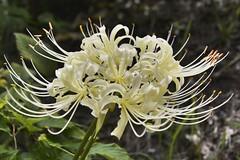 White Spider Lily ,Japan. (marcelo.nakazaki) Tags: bunchofflowers spiderlily desabrochar whitespiderlily lirioaranha asia aichiken nagoya japon japan japao floraao blossom postcard