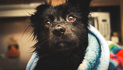 Wet pupper (Jon.the.canadian) Tags: shadow schipperke dog awe cute close up portrait puppy precious animal dogs canine