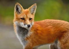Red Fox (Hanzy2012) Tags: nikon algonquinpark vulpesvulpes fox redfox ontario wildlife afsnikkor500mmf4difedii d750