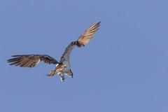 Osprey Hunting (sibnet2000) Tags: osprey seahawk yakimariver canon7dmarkii canon400mmf56l 14 eas raptor