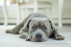 Lying low (dog ma) Tags: buns dogma blue pitbull nikon d700 nikkor 85mm jodytrappephotography pet portrait