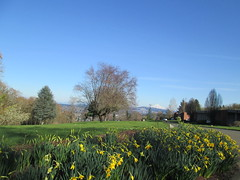 Daffodils and Mt Hood (Lynne Fitz) Tags: bicycle oregon sweetpea 100k permanent populaire randonneur